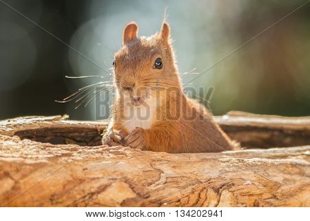 red squirrel is standing in tree hole
