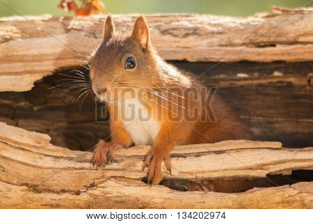 red squirrel is climbing out a hollow tree