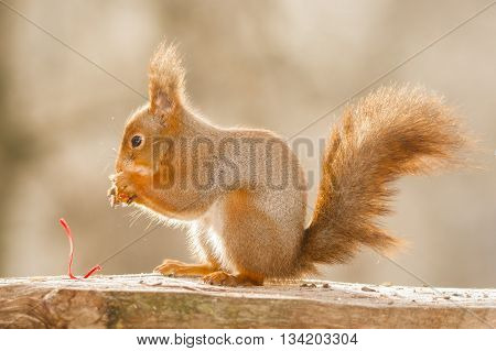 red squirrel is opening a present in light