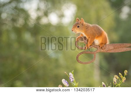 red squirrel is standing on rusty scissors