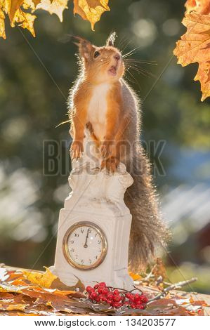 red squirrel standing on clock looking down