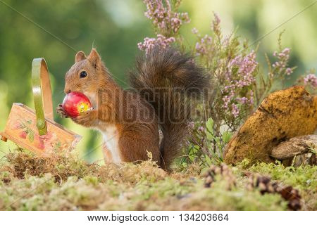 red squirrel holding a apple with basket