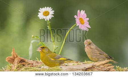 green finches standing with flowers on moss