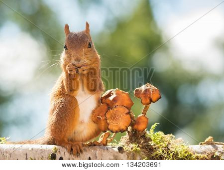 female red squirrel standing with mushroom on tree