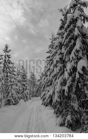 trees in winter scene and a ski track