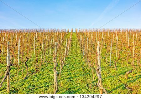 vineyard in spring without leaves - blue sky