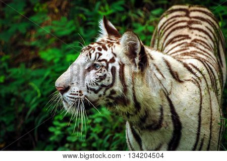 Portrait of Young White Tiger in an Indian Tiger Reserves. The tiger has beautiful blue eyes and it was watching something. The tiger in sharp focus and not looking at the camera.