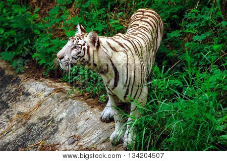 Full Photograph of Young White Tiger in an Indian Tiger Reserves. The tiger has beautiful blue eyes and it was watching something. The tiger in sharp focus and not looking at the camera.