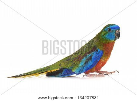 Turquoise parrot in front of white background