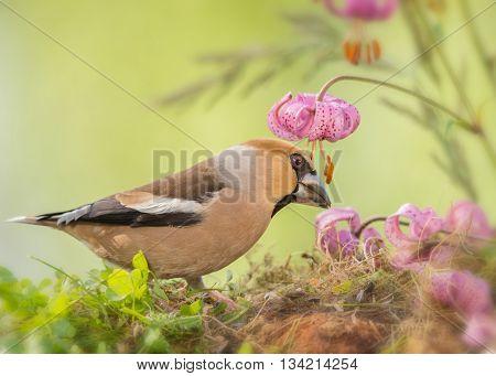 haw finch standing between flowers in moss