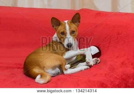 Cute basenji - alcohol lover having rest on the sofa