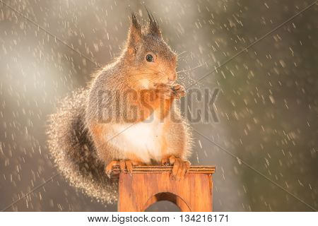 red squirrel is standing in rain in sun light