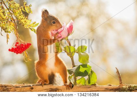 red squirrel is standing with rose and berries