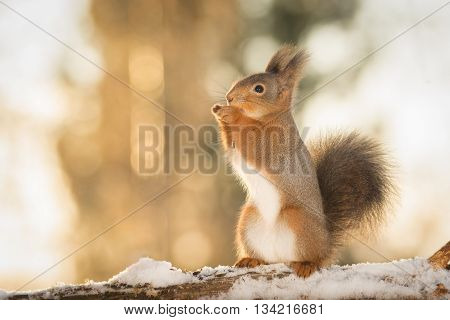 red squirrel standing on snow in sun light