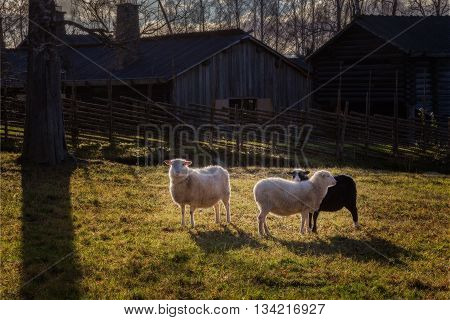 sheep with swedish fence in light beam