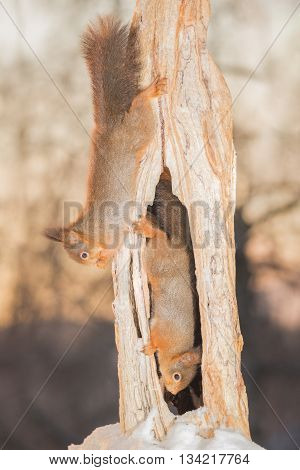red squirrels standing on tree trunk with snow and hole