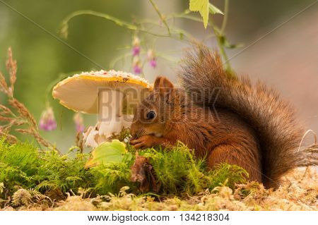 red squirrel standing between mushroom and flowers