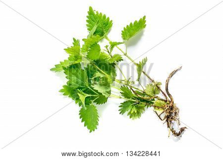Medicinal plant nettle (Urtica dioica) on white background. It is used in food preparation and production of fabrics