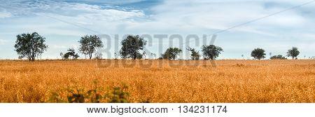 Wild Oat Field with Trees on Murge Apulia