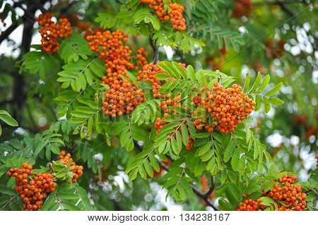 bunches of Rowan tree with ripe red berries