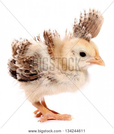 Funny chick with strange feathers on head top