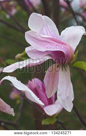 Daybreak magnolia flowers (Magnolia x hybrid Daybreak). Hybrid between Magnolia x brooklynensis Woodsman and Magnolia x hybrid Tina Durio)