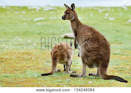 Kangaroos Mother Father And Son Portrait Close Up