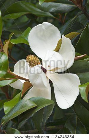 Southern magnolia flower (Magnolia grandiflora). Called Evegreen Magnolia Bull Bay Bullbay Magnolia Laurel Magnolia and Loblolly Magnolia also. Close up image of flower
