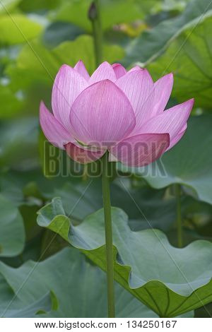 Sacred lotus (Nelumbo nucifera). Called Indian Lotus Bean of India and Lotus also. lateral view of flower