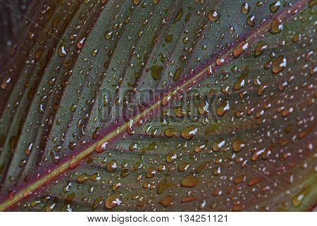 Rain droplets on canna leaf (Canna x generalis) poster