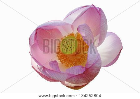 Sacred lotus (Nelumbo nucifera). Called Indian Lotus Bean of India and Lotus also. Image of flower isolated on white background