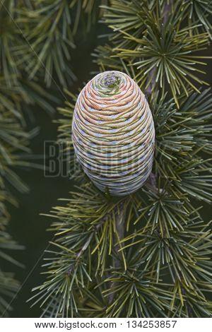 Deodar cedar (Cedrus deodara). Called Himalayan cedar also. Image of single cone