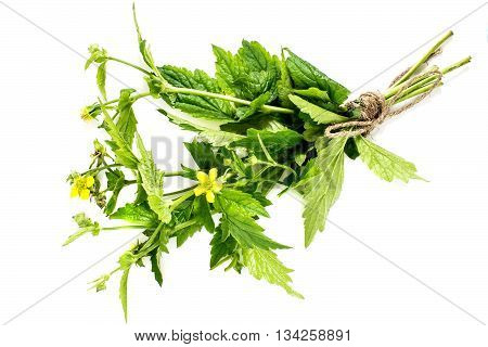 Medicinal plant Geum urbanum (also known as wood avens herb Bennet colewort and St. Benedict's herb). Used in herbal medicine cooking food for animals bee plant and insecticide