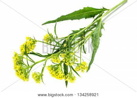 Medicinal plant Bunias orientalis (Turkish rocket hill mustard Turkish warty cabbage warty cabbage) on a white background. Used in herbal medicine cooking food for animals