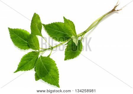 Medicinal plant Goutweed (Aegopodium) on a white background. Used in herbal medicine cooking bee plant