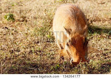 Piggy - Phacochoerus Africanus  The Common Warthog