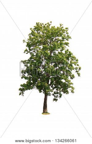 Isolated Deciduous Tree