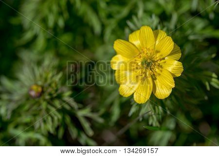 Spring pheasant's eye or Adonis vernalis blossoms in steppe