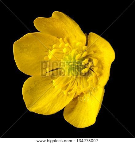 Yellow Buttercup Flower close up on black background.
