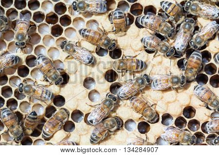 Close up of beehive brood frame with larva, capped worker bee brood and nurse bees tending cells.