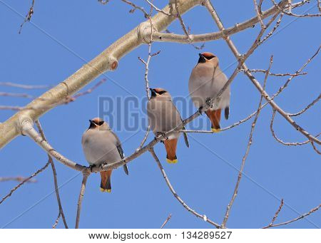 stunning stock image of three colorful waxwings on tree branch