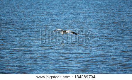 Crane in low flight over water, lake.