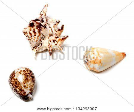 Three Seashells On White