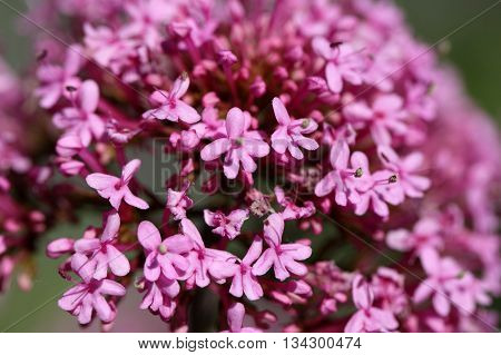 Macro photo of red valerian flowers (Centranthus ruber).