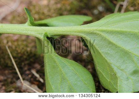 Lower Side Of A Barbara Leaf (barbarea Vulgaris)