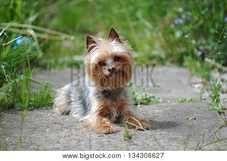 little dog breed Yorkshire on the background of green grass