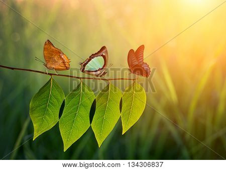 Three Butterfly On Green Leaf And Sunlight