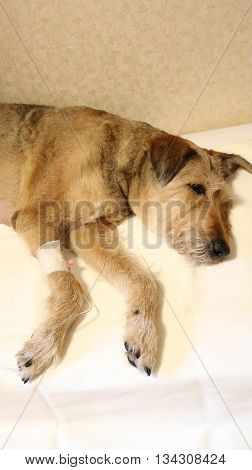a dog is sick, and it is administered IV