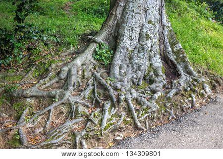 Old Magnolia tree roots Adjara Georgia, nature.