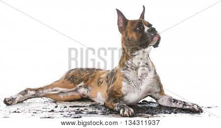 dirty muddy boxer isolated on white background